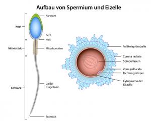 Spermien und Carnitin