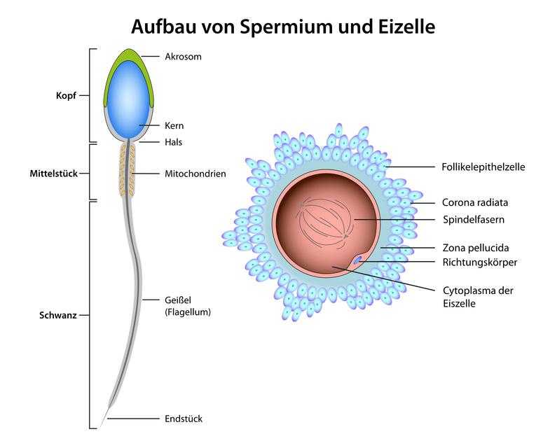 Spermiogramm und Fruchtbarkeit